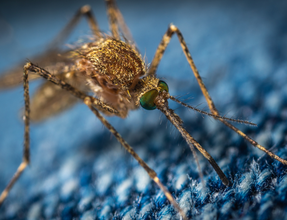 A species of mosquito that could transmit malaria has been discovered in Finland